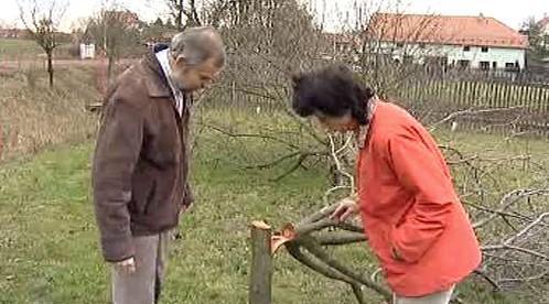 Manželé Říhovi prohlížejí uříznutý stromek