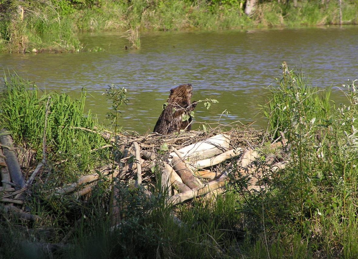 Bobr staví přehradu