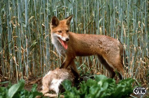 Liška červená