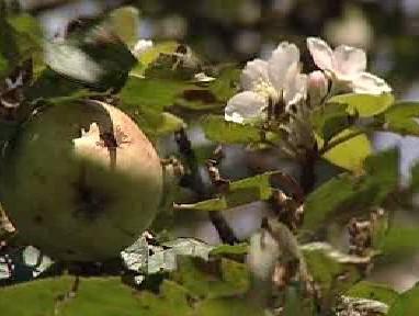 Jablko a květ na jedné větvi