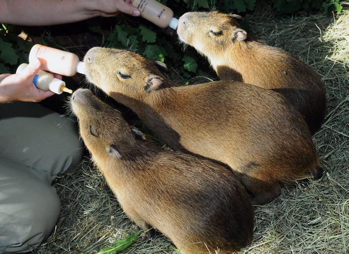 Mláďata kapybar