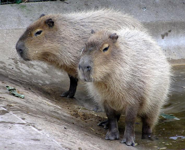 Dvojice kapybar