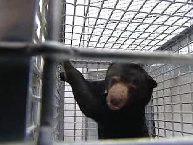 Malajský medvěd v přepravní kleci