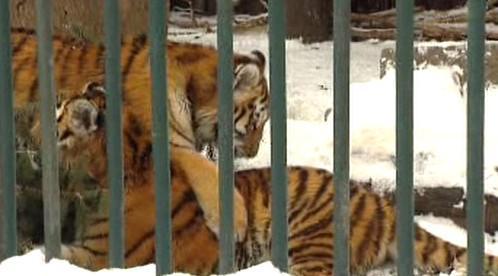 Tygři v zoo