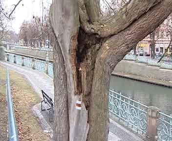 Přestárlý a nemocný strom