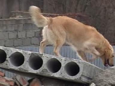 Záchranářský pes