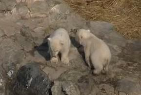 Malí lední medvědi