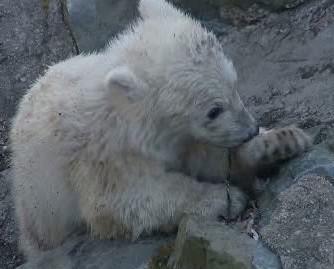 Malý lední medvěd