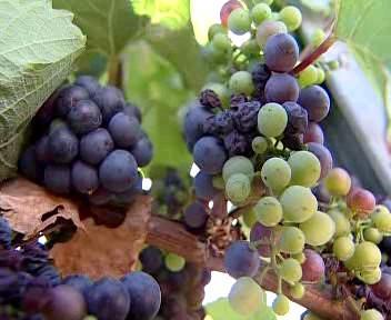 Hrozny vína