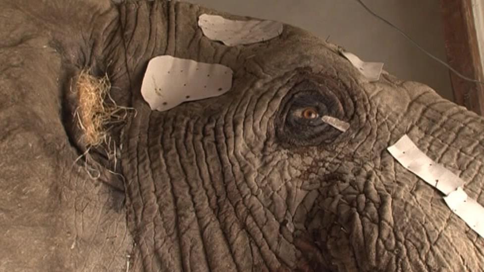 Slon čeká na přidělání uší