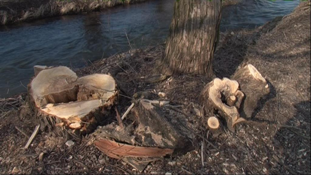 Po stromech kolem Rokytné, zůstaly jen pařezy