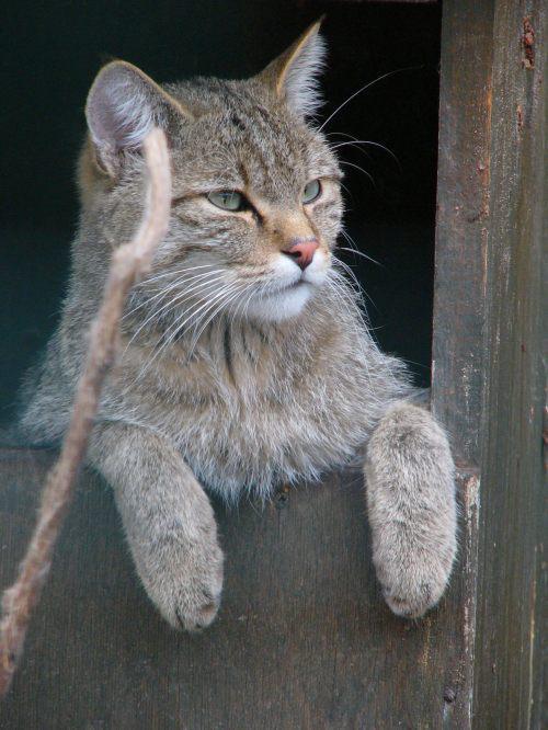 Kočka divoká v ZOO Ohrada