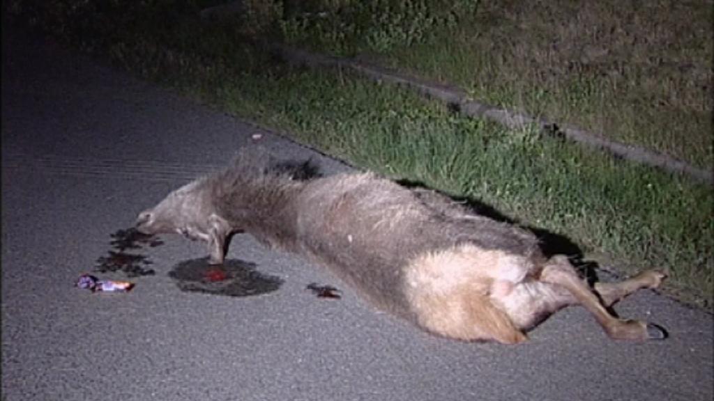 Zvíře zemřelo po srážce s autem