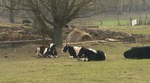 Krávy leží ve vlastních výkalech