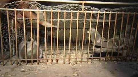 Holubi se chytili do klecí