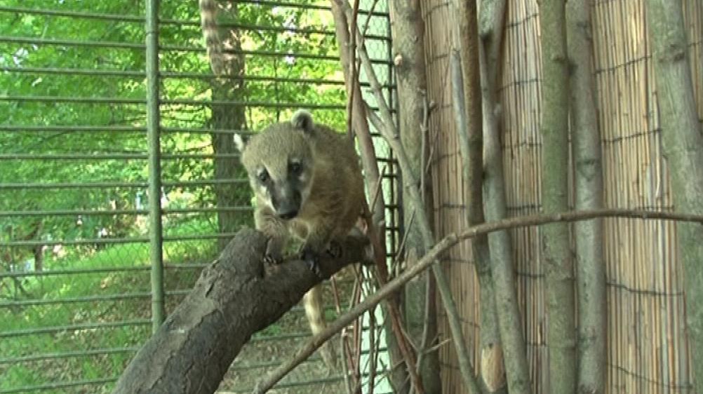 Nosálové v brněnské zoo už se osmělili a užívají si venkovního výběhu