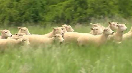 Stádo ovcí na kopci Rochus