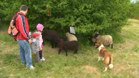 Na ovce se hned první den přišly podívat desítky rodin