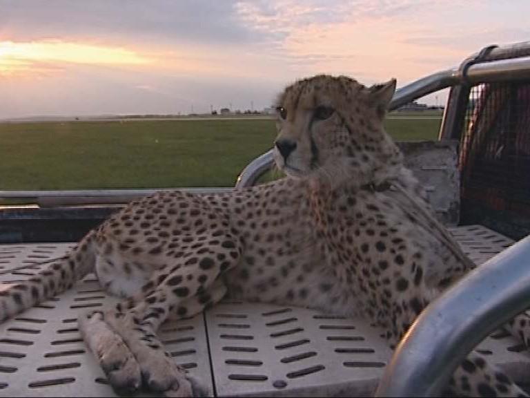K hlídačům letiště patří i gepard