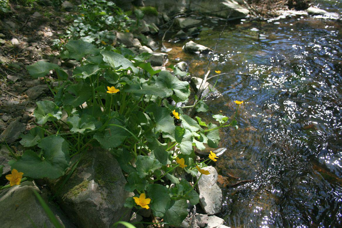 Na břehu Bobrůvky kvetou na jaře blatouchy