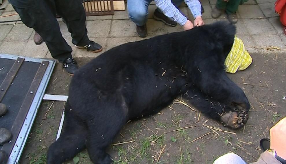 Medvěda Brumbase uspaly dvě dávky tišících léků