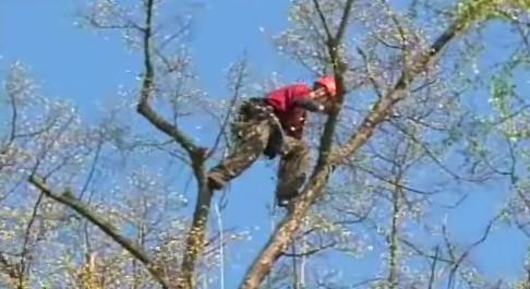 Arborista Martin Vlado se jistil při práci dvěma lany