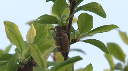 Chrousti nejsou vybíraví, ožírají listy všech stromů