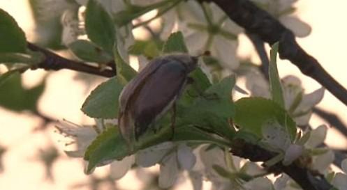 Chrousti ničí ovocné stromky lidem v Bzenci