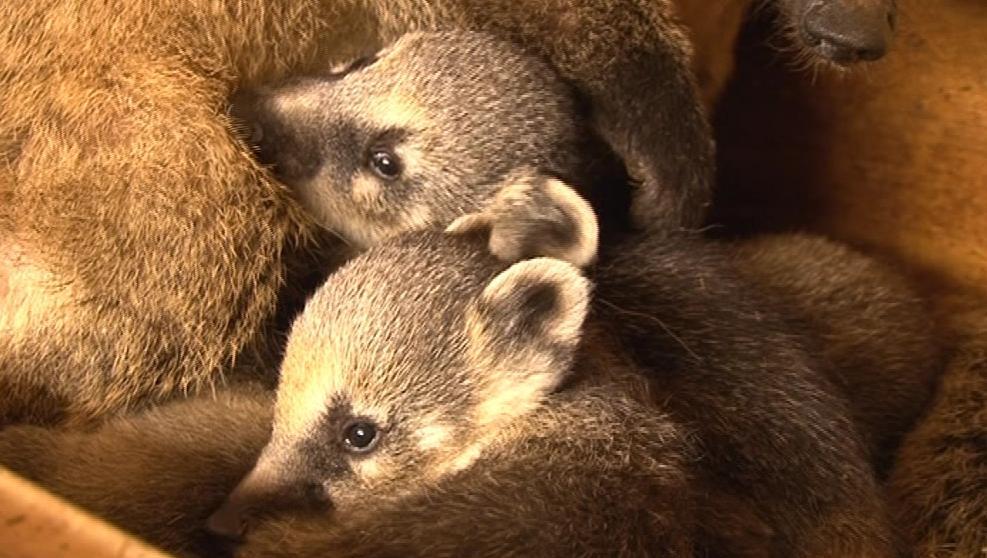 Malí nosálové v brněnské zoo