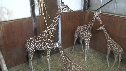 Dvě samice a dvě mláďata dnes přivítaly německého samce jménem M\'Toto