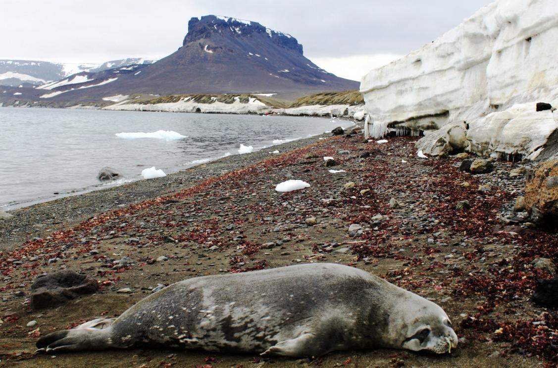 Tuleň Weddelův odpočívající na kamenitém pobřeží ostrova Jamese Rosse