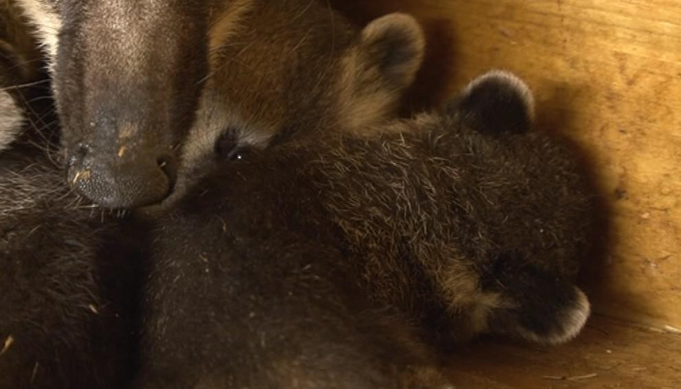 Pět mláďat nosála v brněnské zoo
