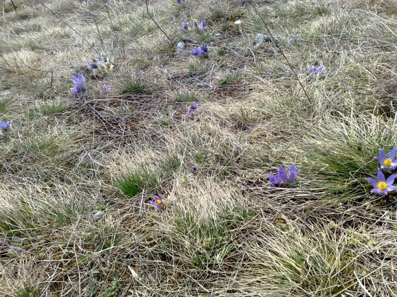 Květy konikleců zdobí stráně Malhostovické pecky
