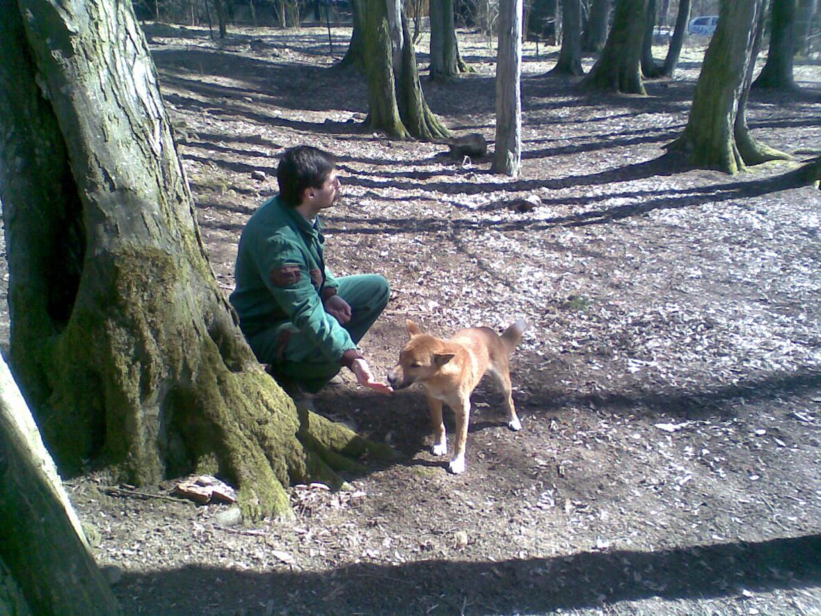 Zlínská zoo má dva nové přírůstky - novoguinejské divoké psy