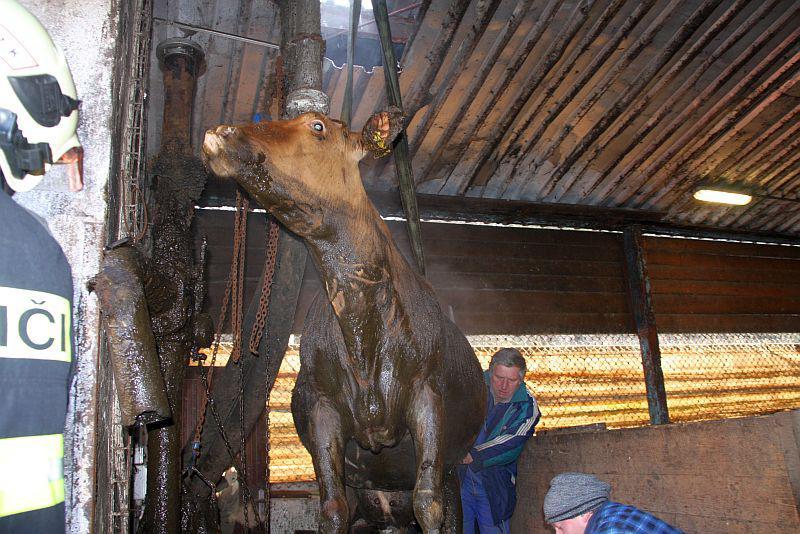 Záchrana březí krávy z jímky