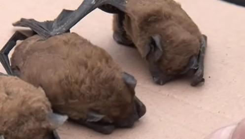Hibernující netopýry našli lidé v okolích panelových domů v Brně-Bohunicích