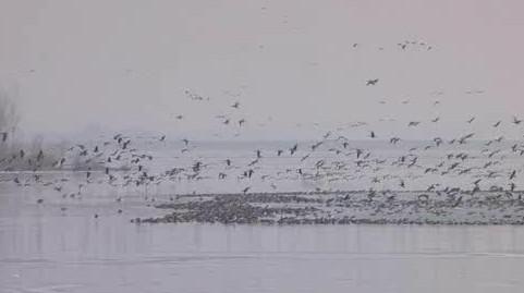 Na Novomlýnské nádrže přiletěly husy ze Sibiře