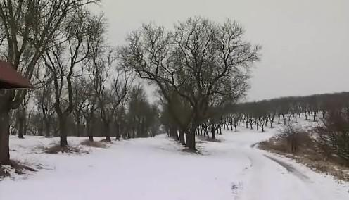 Mandloňový sad v Hustopečích