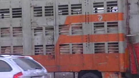 Dálnici D1 blokoval kamion s prasaty