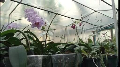 Záhon orchidejí falenopsis. Všechny vykvetou až po Vánocích.