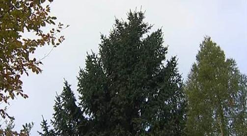 Brňané vybírají vánoční strom
