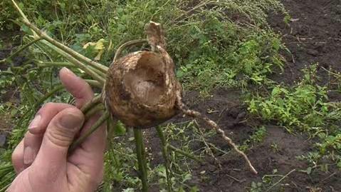 Škůdci ničí zemědělcům na Znojemsku úrodu