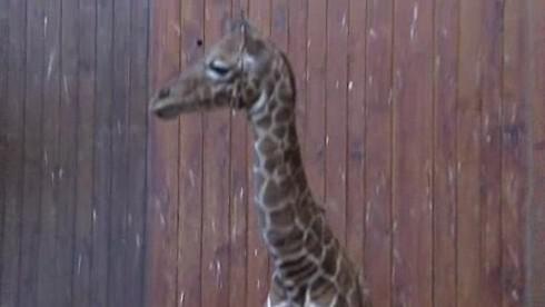 Mládě žirafy se po uhynutí stalo exponátem muzea
