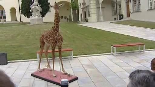 Vypreparované mládě žirafy Rothschildovy