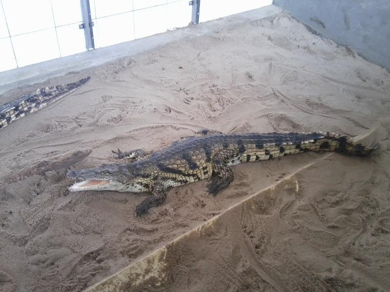 Krokodýlí mládě