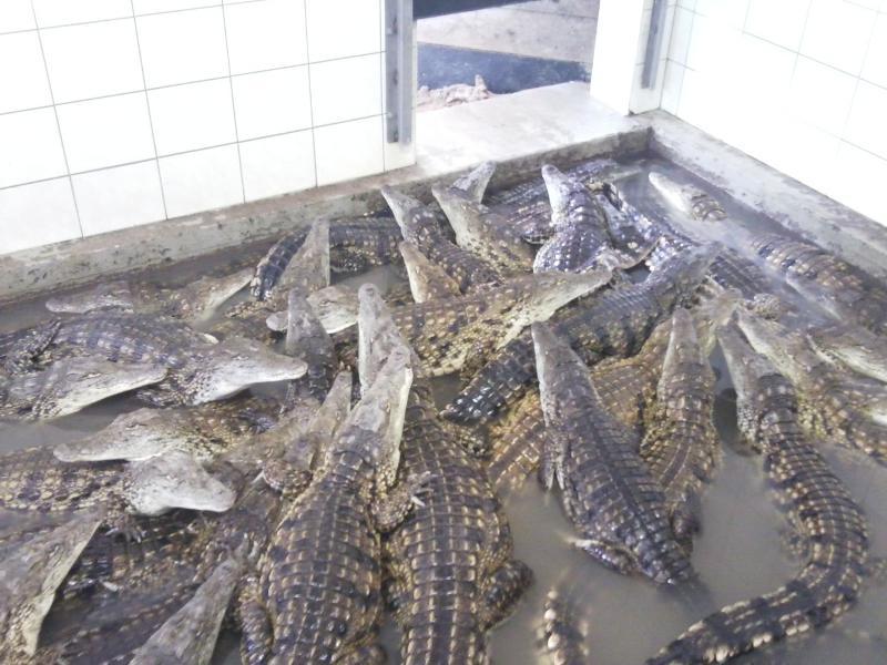 Krokodýlí mláďata