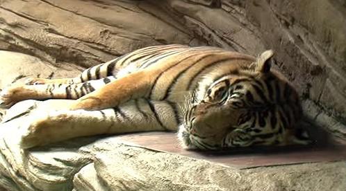 Tygr v brněnské zoo