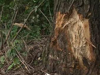 Strom, o který se automobil převrátil