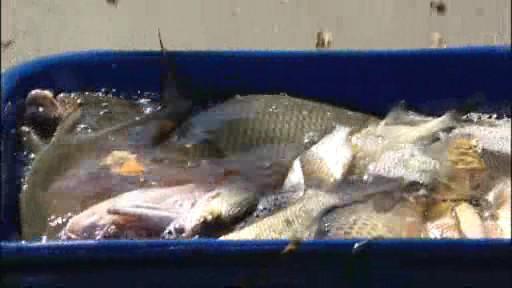 Vylovené ryby