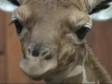 Novonarozené mládě žirafy síťované